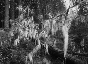 creepy_tree_by_kanijonas-d4gyw6d