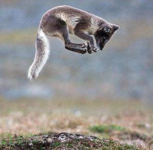 fox-jump